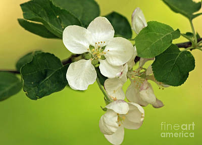Golden Moments - Wild Apple Blossom  Art Print by Inspired Nature Photography Fine Art Photography