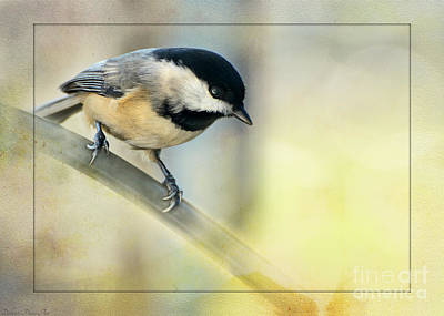 Golden Morning Chickadee Print by Debbie Portwood