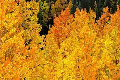 Photograph - Golden Orange Aspen Trees In Autumn by Marilyn Burton