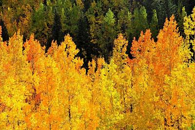 Photograph - Golden Orange Aspens In Fall Foliage by Marilyn Burton