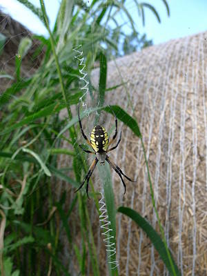 Photograph - Golden Orb Spider by Richard Reeve