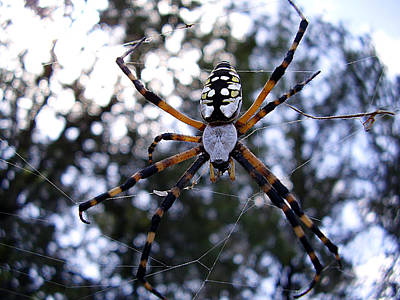 Spider Photograph - Golden Orb Weaver In My Backyard  by Chris Mercer