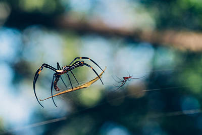 Nephilidae Nephila Photograph - Golden Orb Weaver Spider  by Xunbin Pan