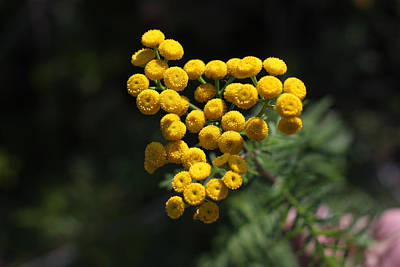 Photograph - Golden Orbs - Acadia Tansy Flowers by Kirkodd Photography Of New England