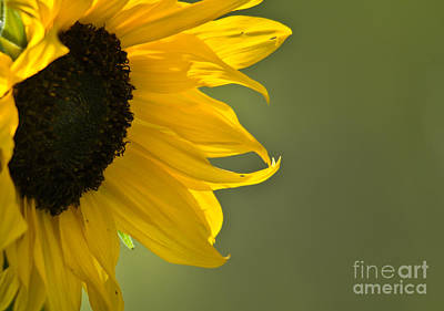 Photograph - Golden Petals by Cheryl Baxter