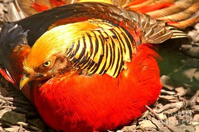 Photograph - Golden Pheasant At Rest by Adam Jewell