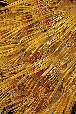 Pheasant Photograph - Golden Pheasant Feathers by Darrell Gulin