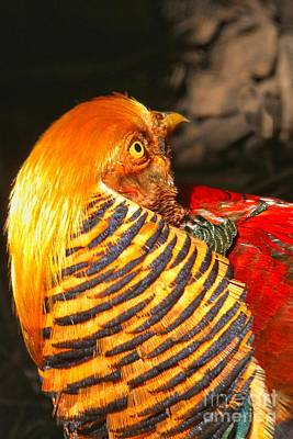 Photograph - Golden Pheasant Intensity by Adam Jewell