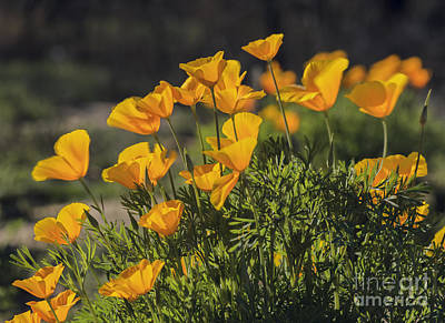 Photograph - Golden Poppies by Tamara Becker
