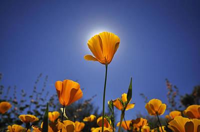 Golden Poppy Original by Eduardo  Dinero