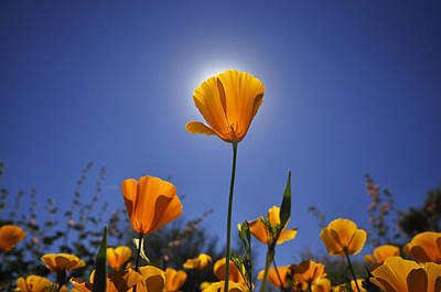 Golden Poppy Original