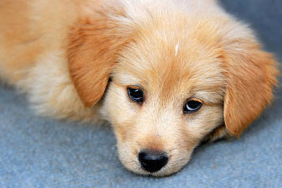 Photograph - Retriever Puppy by Christina Rollo