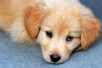 Golden Retriever Photograph - Retriever Puppy by Christina Rollo