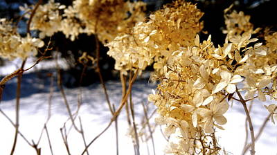 Photograph - Golden Purity by Danielle  Broussard