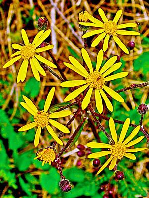 Golden Ragwort Photograph - Golden Ragwort Near Alamo-michigan by Ruth Hager