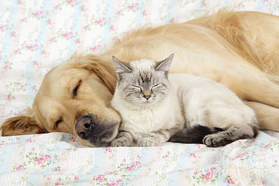 Golden Retriever Photograph - Golden Retriever And Cat by John Daniels