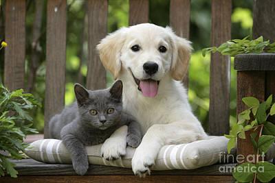 Golden Retriever Puppies Photograph - Golden Retriever And Kitten by Jean-Michel Labat