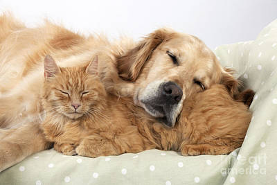 Sweet Dreams Photograph - Golden Retriever And Orange Cat by John Daniels