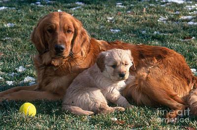 Golden Retriever And Puppy Art Print