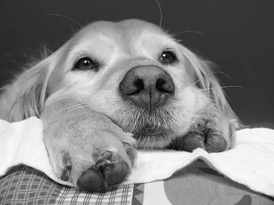 Comics Royalty-Free and Rights-Managed Images - Golden Retriever Dog I See You by Jennie Marie Schell