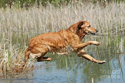 Photograph - Golden Retriever Dog Jumping Into Water by Dog Photos