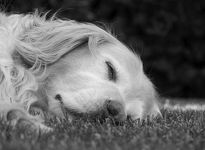 Golden Retriever Photograph - Golden Retriever Dog Sweet Dreams Black And White by Jennie Marie Schell