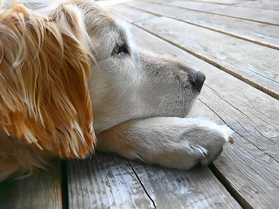 Golden Retriever Photograph - Golden Retriever Dog Waiting by Jennie Marie Schell
