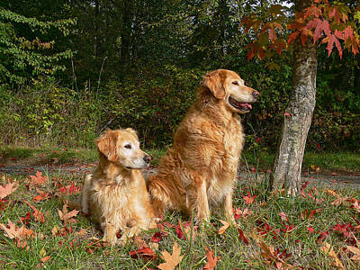 Golden Retriever Photograph - Golden Retriever Dogs In Autumn by Jennie Marie Schell
