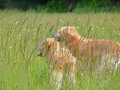 Photograph - Golden Retriever Dogs Field Of Green Grasses by Jennie Marie Schell