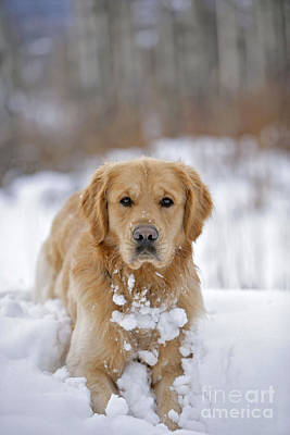 Snowy Golden Retriever Photograph - Golden Retriever In Snow by Rolf Kopfle
