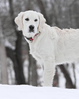 Golden Retriever In The Snow Art Print