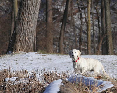 Photograph - Golden Retriever In Winter by Coby Cooper