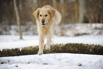 Golden Retriever Jumping Art Print by John Daniels