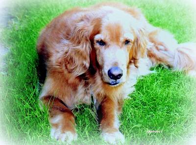 Photograph - Golden Retriever by Kay Novy