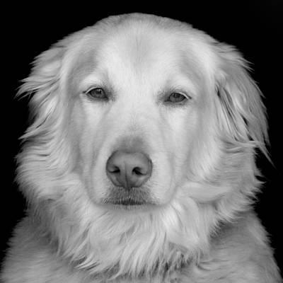 Golden Retriever Photograph - Golden Retriever Portrait by Tony Ramos