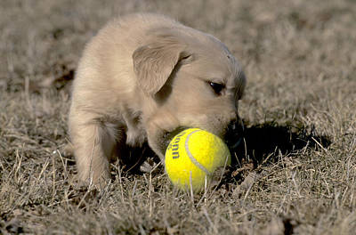 Golden Retriever Puppies Photograph - Golden Retriever Pup Plays With Tennis by William H. Mullins