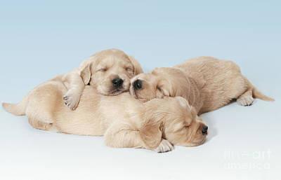 Golden Retriever Puppies Asleep Art Print by John Daniels