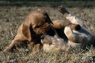 Golden Puppy Photograph - Golden Retriever Puppies by William H. Mullins