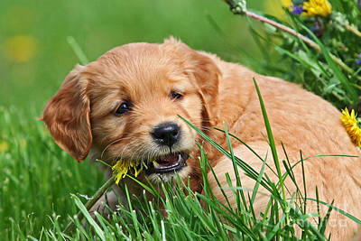 Photograph - Golden Retriever Puppy Chewing A Flower by Dog Photos