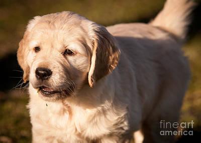 Golden Retriever Puppy Art Print by Chuck Spang