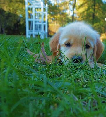 Golden Retriever Puppies Photograph - Golden Retriever Puppy  by Dan Sproul