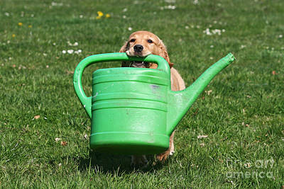 Photograph - Golden Retriever Puppy Fetching Watering Can by Dog Photos
