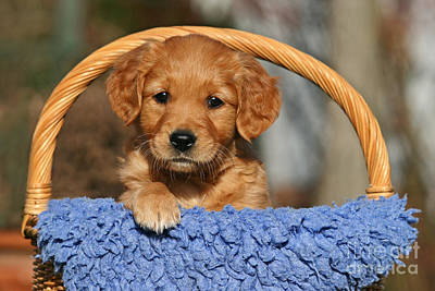 Photograph - Golden Retriever Puppy In A Basket by Dog Photos