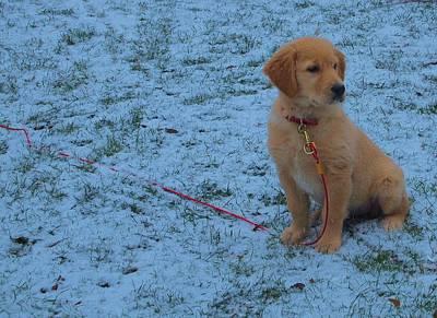 Golden Retriever Puppy In The Snow Art Print
