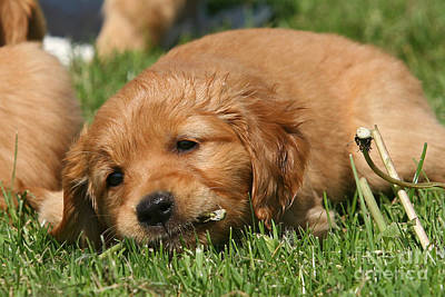 Photograph - Golden Retriever Puppy Nibbling On A Flower by Dog Photos