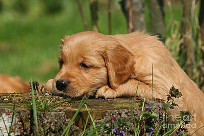 Photograph - Golden Retriever Puppy On A Stump by Dog Photos