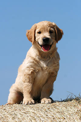Photograph - Golden Retriever Puppy On Bale Of Hay by Dog Photos