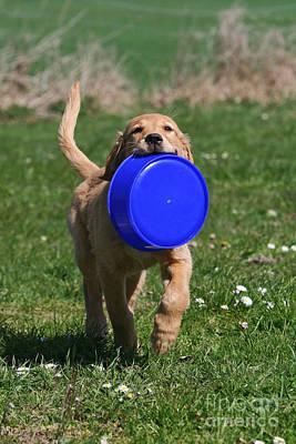 Golden Retriever Puppy Retrieving Blue Dog Bowl Art Print