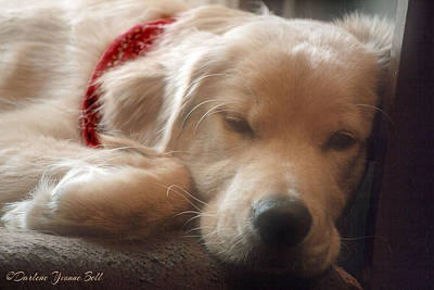 Photograph - Golden Retriever Puppy Sleeping by Darlene Bell
