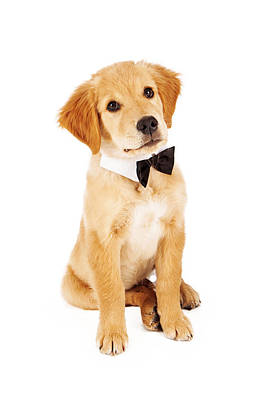 Golden Puppy Photograph - Golden Retriever Puppy Wearing Bow Tie by Susan Schmitz